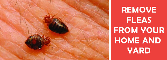 Fleas Pest Control Melbourne