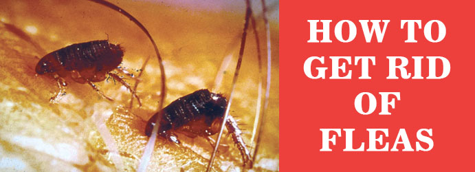 How to Get Rid Of Fleas Melbourne