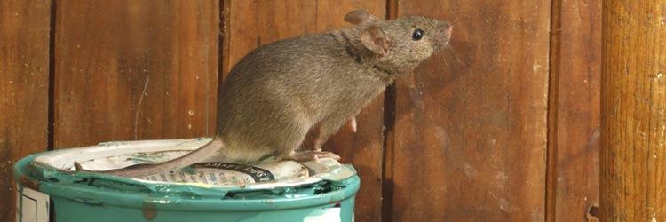 Rodent Pest Control Launceston